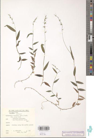 Oplismenus setarius (Lam.) Roem. & Schult.
