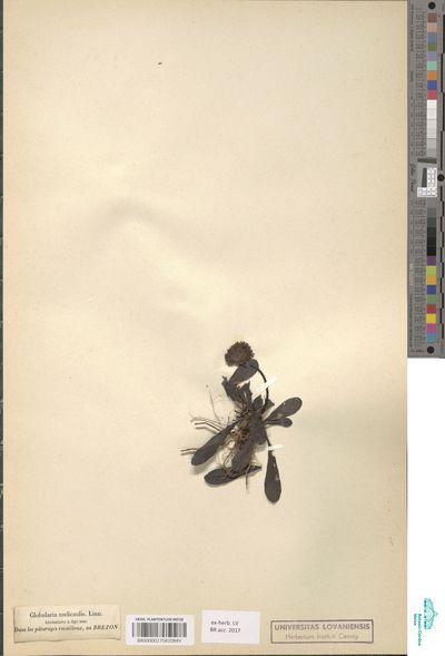 Globulea nudicaulis Haw.