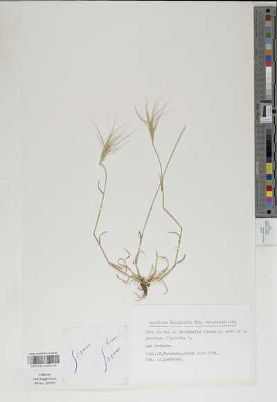 Aegilops biuncialis Vis. var. biuncialis