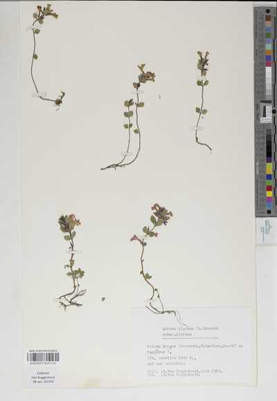 Acinos alpinus (L.) Moench subsp. alpinus