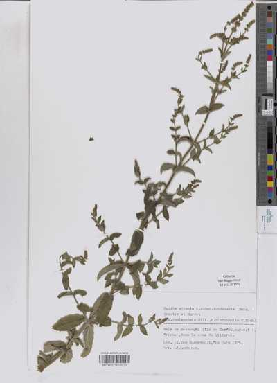 Mentha spicata L. subsp. condensata (Briq.) Greuter & Burdet