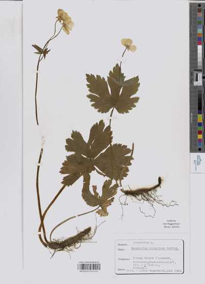 Ranunculus carpaticus Wahlenb. ex Nyman