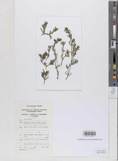 Najas marina L. subsp. armata (H.Lindb.) Horn