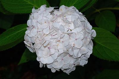 Hydrangea macrophylla subsp. macrophylla 'Mme E. Mouillère'