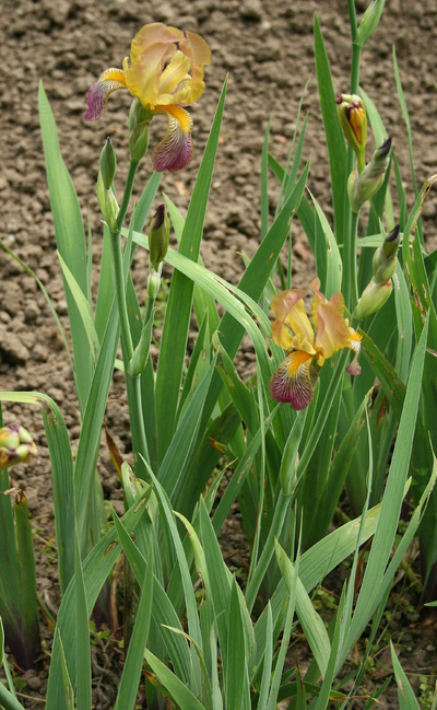 Iris (Tall Bearded Group) 'Apollon'