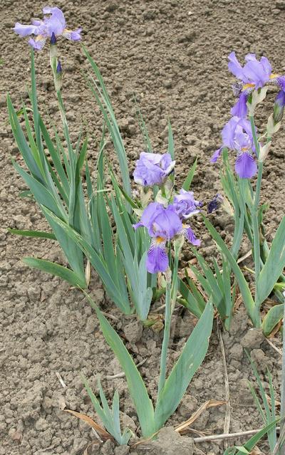 Iris (Tall Bearded Group) 'Caméléon'
