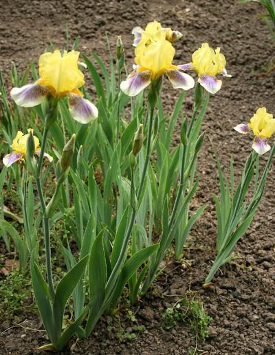 Iris (Tall Bearded Group) 'Darius'
