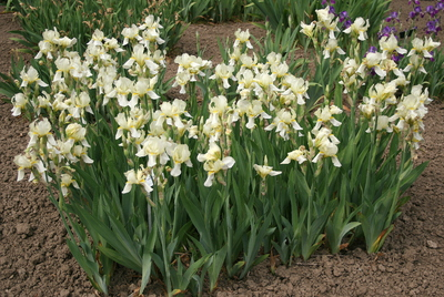 Iris (Tall Bearded Group) 'Hortense'