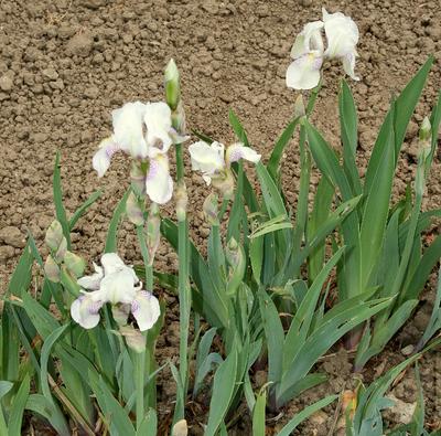 Iris (Tall Bearded Group) 'Mrs George Darwin'