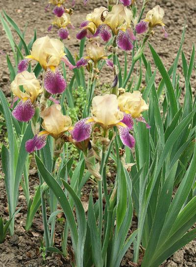 Iris (Intermediate Bearded Group) 'Phidias'