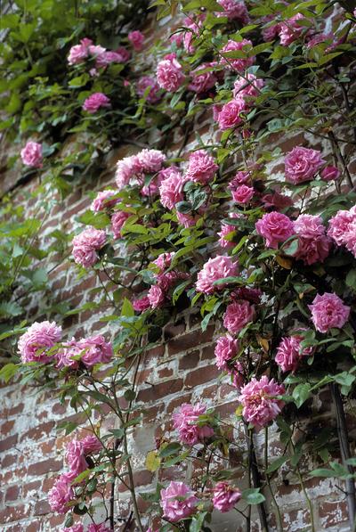 Rosa (Hybrid; climber) 'Zéphirine Drouhin'