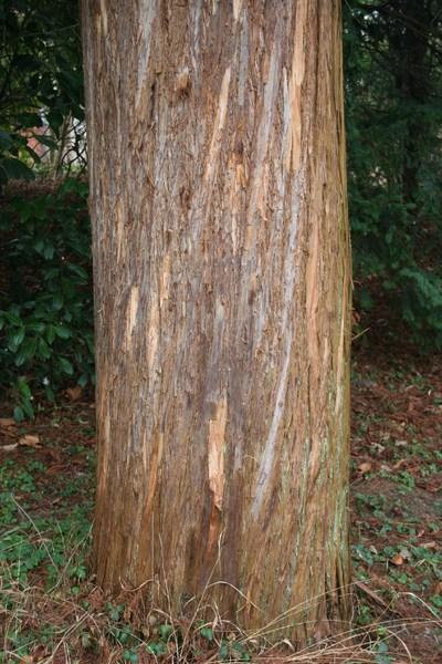 Taxodium distichum var. imbricarium 'Nutans'