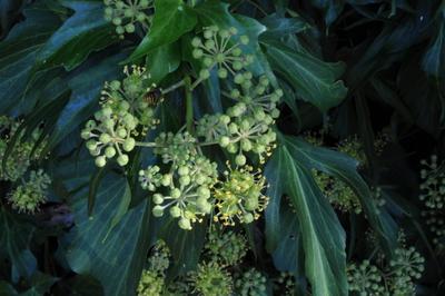 Hedera helix subsp. helix 'Pedata'