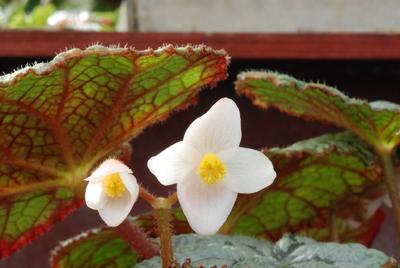 Begonia (Rex-hybrid) 'Queen Wilhelmina'