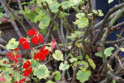 Pelargonium (Zonale-hybrid) 'Golden Jewel'