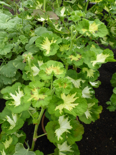 Pelargonium (Zonale-hybrid) 'Happy Thought'