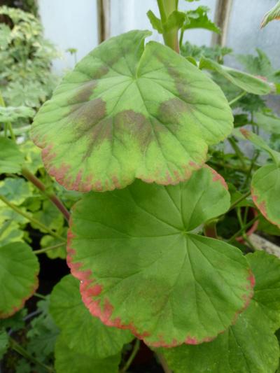 Pelargonium (Zonale-hybrid) 'René Pechère'