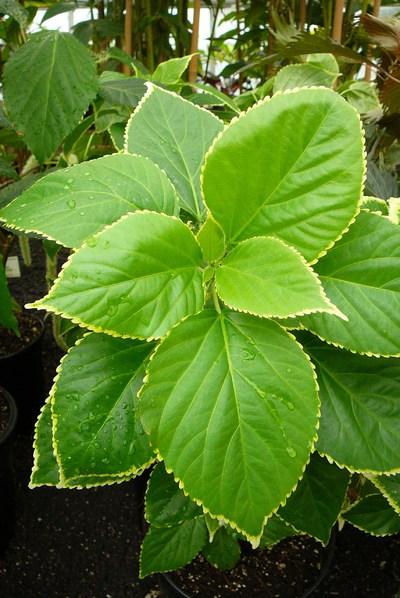 Acalypha wilkesiana 'Godseffiana'