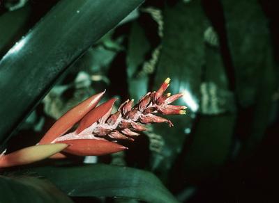 Aechmea nudicaulis var. aureo-rosea