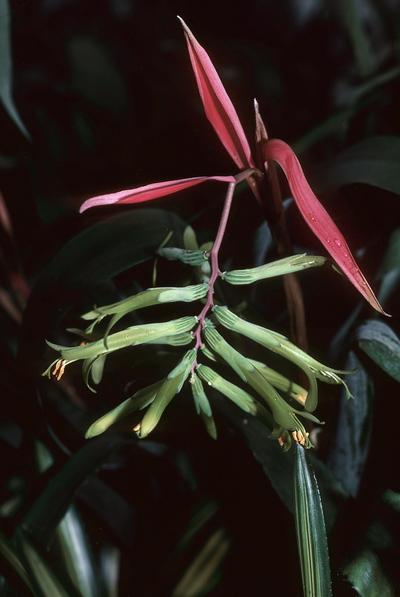 Billbergia distachia var. straussiana
