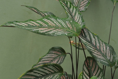 Calathea majestica 'Roseo-Lineata'