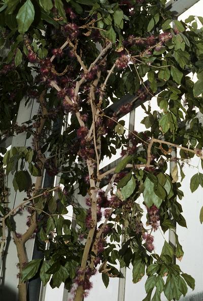 Zygia latifolia var. latifolia