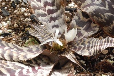 Cryptanthus (Zonatus-hybrid)