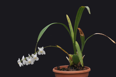 Osmoglossum pulchellum 'Majus'