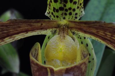 Paphiopedilum x harrisianum 'Wallaertianum'