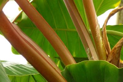 Philodendron melinonii 'Rubescens'