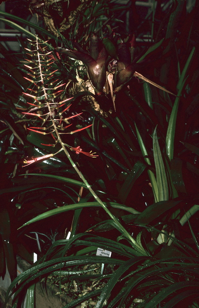 Pitcairnia flammea var. floccosa