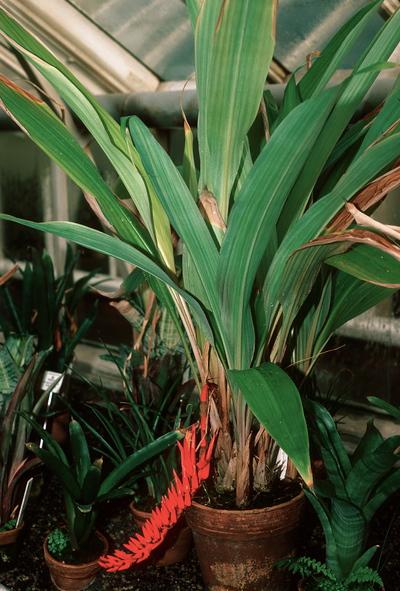 Pitcairnia corallina var. corallina