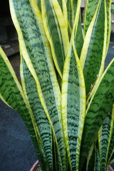 Sansevieria trifasciata var. laurentii