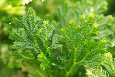 Selaginella martensii 'Variegata'