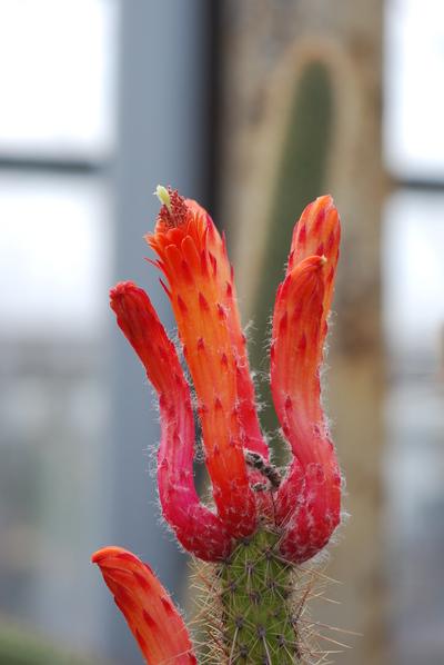 Cleistocactus baumannii subsp. baumannii