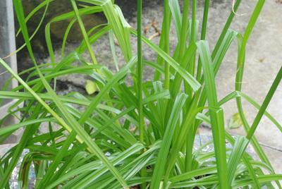 Cyperus distans subsp. longibracteatus
