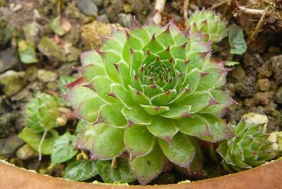 Sempervivum tectorum subsp. arvernense var. cebennense