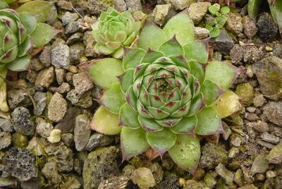 Sempervivum tectorum subsp. boutignyanum var. andreanum