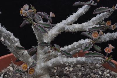 Euphorbia decaryi var. cap-saintemariensis