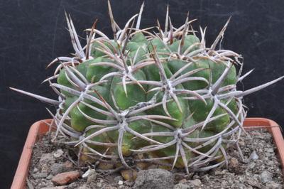 Gymnocalycium monvillei subsp. achirasense var. kainradliae