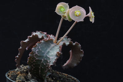 Euphorbia francoisii var. crassicaulis f. rubrifolia