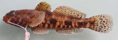 Gobius cruentatus Gmelin, 1789