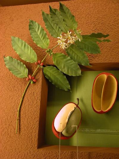 Coffea arabica (Modell Zweig Kaffeeestrauch)