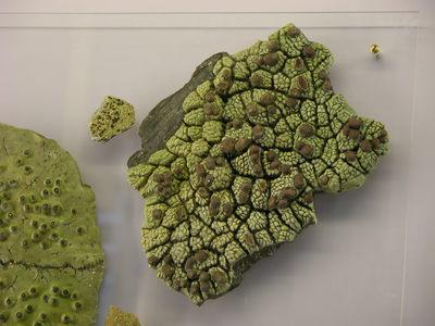 Ophioparma ventosum (Modell Wuchsform der Krustenflechte Ophioparma ventosum auf  Plexiplatte)