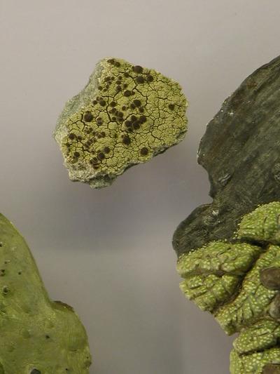 Ophioparma ventosum (Lebendmaterial der Krustenflechte Ophioparma ventosum auf  Plexiplatte)