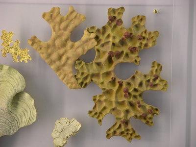 Lobaria pulmonaria (Modell Wuchsform der Blattflechte Lobaria pulmonaria auf  Plexiplatte)