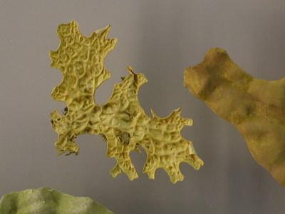 Lobaria pulmonaria (Lebendmaterial der Blattflechte Lobaria pulmonaria auf  Plexiplatte)