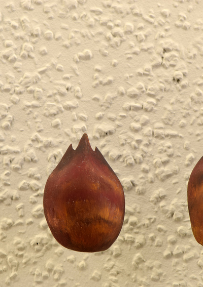 Malus baccata (Modell: Übergangsformen von der Knospenschuppe zum Laubblatt (6:1)  Blattfolge bei Malus baccata)