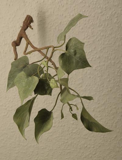 Hedera helix (Modell: Jugend- und Altersblätter von Hedera helix (1:1))