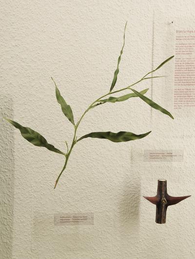 Acacia saligna (Modell: Blattstielblätter einer Weidenblatt-Akazie (1:1))
